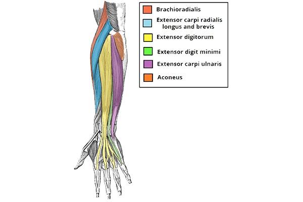 Nhóm cơ cẳng tay